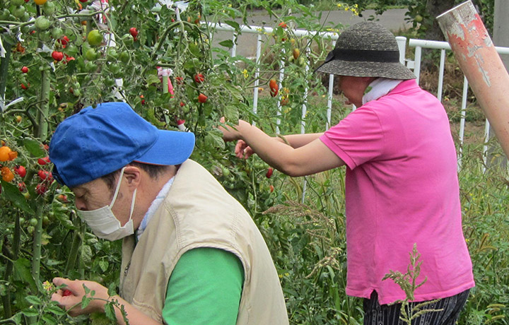 農作業 ミニトマトの収穫